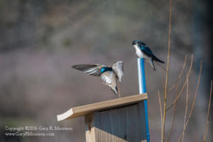 Tree Swallows Checking House Hunting Stillwater Marsh Monroe Cou