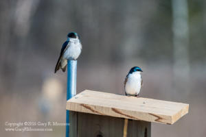 Two Tree Swallows Enjoying the Sun Monroe County IN