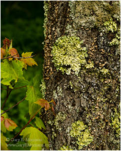 Lichen, Grayson Highlands State Park, Virginia