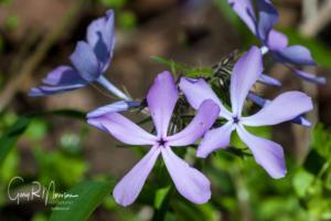 Blue Phlox, Cedars Preserve Monroe County, IN