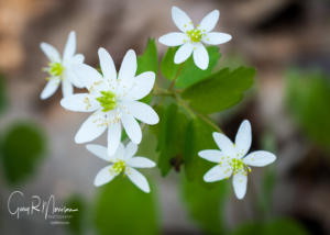 Rue Anemone Lawrence County IN