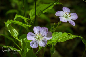 Wild Geranium Spring Mill SP IN