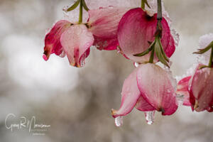 Dogwood blossom in the spring snow