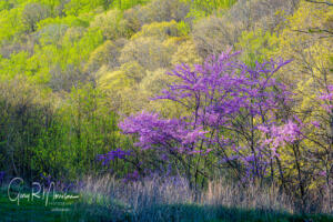 Red bud on a spring day Brown County SP IN