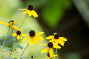 Blackeyed Susans Bluff Bluffs of Beaver Bend Martin County Indiana