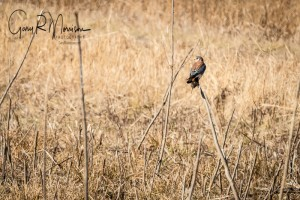 Successful Hunt American Kestrel